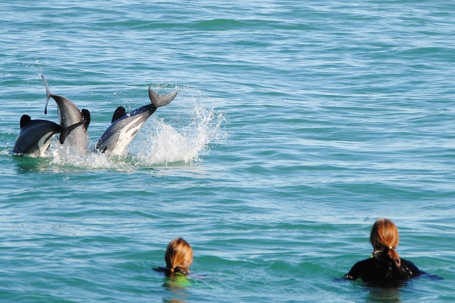 Swimming with Dolphins at Akaroa